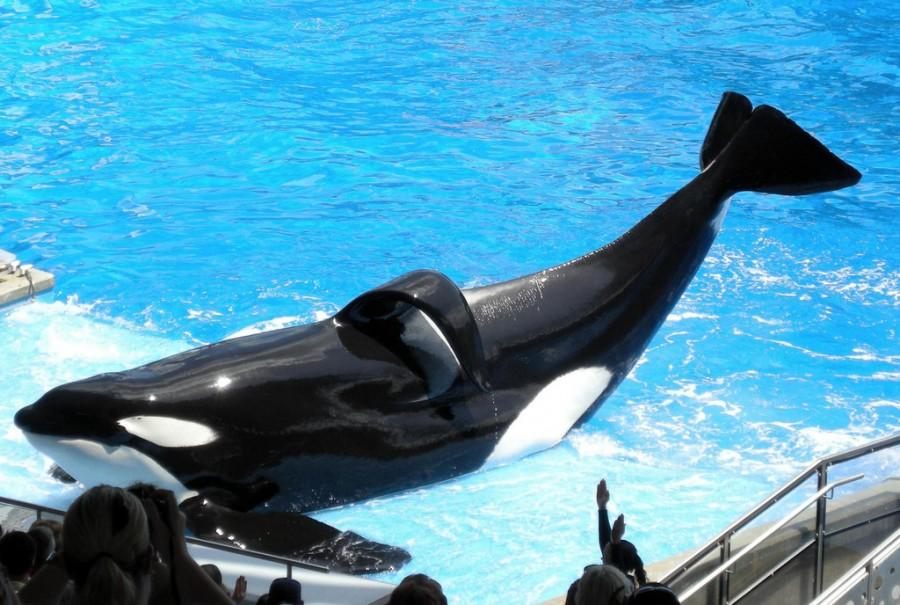 Tilikum, the whale who has killed three people, performing at SeaWorld. His flopped over fin is another result of captivity.